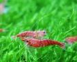 樱花虾 工具虾 除藻虾 15只10元