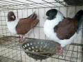 精品元宝鸽子 摩登那鸽子 眼睛球 彩贝 仙女出售