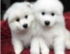 正规犬舍繁殖萨摩耶等名犬 健康保障签协议包活可送货