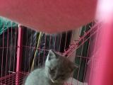纯种英短蓝猫(自家养殖)