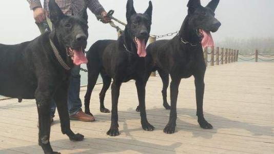 出售纯种黑狼犬 黑狼幼犬 品质好 血统保证