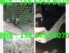 和田元宝鸽2.3斤元宝鸽出售公斤元宝鸽多少钱