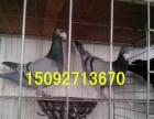 长期供应肉鸽种鸽,元宝鸽种鸽