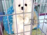 哈多利袖珍博美犬 纯种健康 终身售后 俊杰幼犬 球体博美