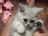 英短猫咪找麻麻啦