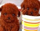 纯种健康泰迪熊幼犬出售 可见父母签署保证协议