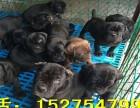 最新卡斯罗价格大型卡斯罗养殖场卡斯罗幼犬小狗价格
