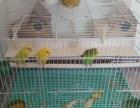 虎皮鹦鹉三只,两个母鸟一只公鸟,黄色的是新品种蘑菇头