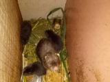 长期批发竹鼠 种苗种鼠