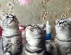家养美短猫咪领养