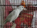 各种毛色的白玉鸟,红眼睛,凤头