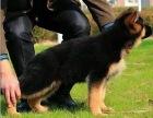 买狗找我 株洲哪里有卖纯种德国牧羊犬,德国牧羊犬多少钱