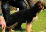 买狗找我 遵义哪里有卖纯种德国牧羊犬,德国牧羊犬多少钱