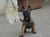 低价出售马犬幼崽 马犬图片