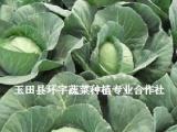 唐山市玉田县秋甘蓝直销基地 冬季甘蓝种植