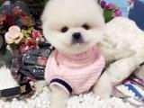 诚信VIP商铺一一 犬舍直销 常年出售各种幼犬