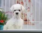 济南哪里有犬舍卖雪纳瑞 济南雪纳瑞怎么卖的 雪纳瑞出售