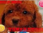 犬舍直销茶杯体泰迪熊宝宝,城市家庭喂养的首选
