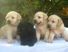 济南哪有拉布拉多犬卖 济南拉布拉多犬价格 拉布拉多犬多少钱