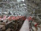 出售白羽王肉鸽,肉鸽哪里有卖的,肉鸽好养吗,养肉鸽赚钱吗