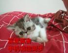 广州哪里有卖加菲猫价格多少加菲猫猫舍嘉恩猫舍加菲好养吗