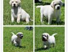 品质赛级拉布拉多犬 温顺的导盲犬 想把它带回家吗