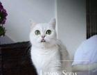 自己养的英短银渐层猫妹妹小母MM母猫毛色浅大圆眼出售