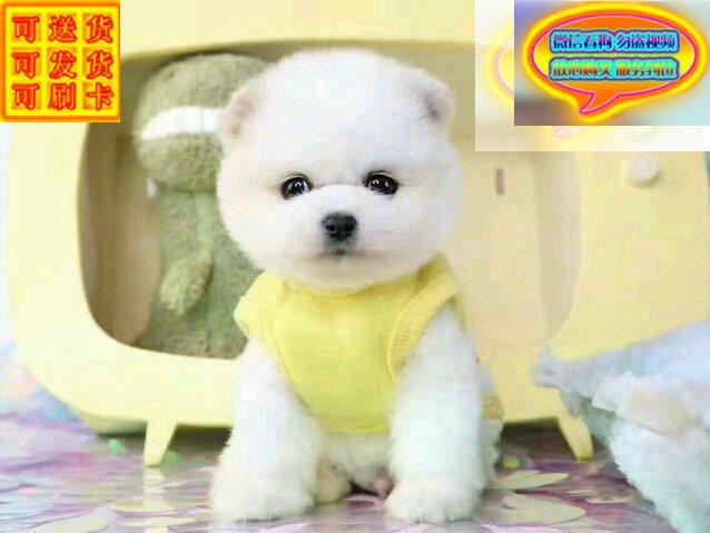 出售纯种哈多利博美幼犬包纯种包健康