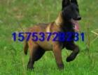 两个月的马犬多少钱,纯种马犬的价格,马犬的图片视频