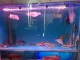 观赏鱼、印尼虎、鹦鹉、巴西亚、银龙、热带鱼、冷水鱼