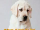大骨量拉布拉多犬 纯种拉布拉多狗狗  健康保障 签订质保合同