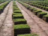 馬尼拉百慕大果嶺草四季青草坪草皮帶土草坪園林綠化