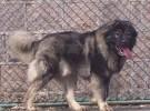 本场出售纯种高加索犬 高加索幼犬 品质好 血统保证