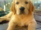 养不死才是王道 名牌基地直销萨摩犬 健康保障