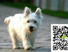 咸阳西高地幼犬大概多少钱咸阳西高地幼犬大约多少钱咸阳西高地幼