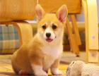 哪里出售纯种高品质 柯基犬 健康可来基地挑选