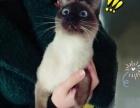 一岁左右大的母暹罗猫