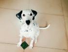 纯种的斑点狗适合小孩养吗 性格怎么样