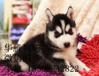 东莞哪里有卖哈士奇幼犬价钱雪橇犬三傻二傻二哈哈士奇雪橇犬价格