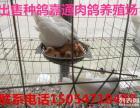 肉鸽养殖合作社肉鸽种鸽价格
