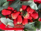 成都天府新區合江草莓新鮮采摘農戶草莓種植