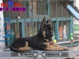 德国牧羊犬黑背哪有卖的/宠物店狗市在哪里