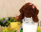 本地犬舍出售**泰迪熊 苹果头娃娃脸 保纯种健康