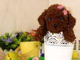 哪里有卖纯种茶杯体泰迪犬 疫苗驱虫按时做好可签协议