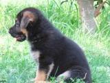 德国牧羊犬价格德国牧羊犬图片 德国牧羊犬多少钱 出售德牧