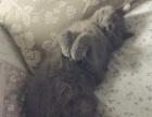 纯种蓝猫肥坨宝宝