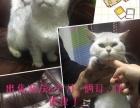 出售渐层猫6个月母