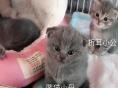 甜心猫舍繁育的纯种名猫价格1500到7000之间