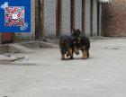 专业养殖德国牧羊犬 赛级德牧 高品质黑背幼犬