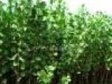 占地用桃苗桃树苗大桃树葡萄树软枣苗杨树苗杨树5至9公分